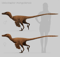 Size comparison of Velociraptor mongoliensis to a human.