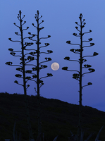 The moon rising between agave trees, Miramar, Argentina.