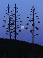 The moon rising between agave trees, Miramar, Argentina. 11079023557| 写真素材・ストックフォト・画像・イラスト素材|アマナイメージズ