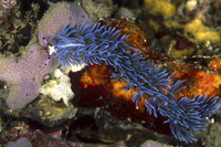 Aeolid nudibranch, Batangas, Philippines.