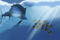 A Blue Marlin swims after a school of Angelfish in the ocean
