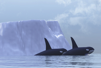 Two Killer Whales swim near an iceberg in the Arctic Ocean.