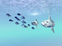 Two large sunfish escort a school of Blue Tango fish.