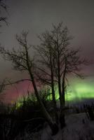 Aurora Borealis with tree, Twin Lakes, Yukon, Canada.