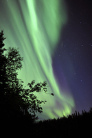 Aurora borealis above the trees, Northwest Territories, Canada.
