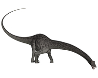 Diplodocus dinosaur with head down.