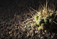 Close-up of a spiked cactus in gravel