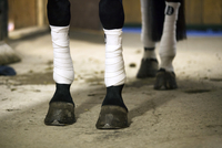 Horse legs wrapped with bandages