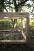 Rabbit trapped in hutch at yard