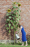 Side view of woman watering sunflowers at yard