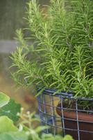 Rosemary growing in pot at yard