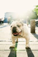 Portrait of English Bulldog on sidewalk