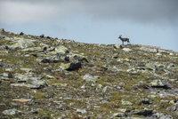 Distant view of reindeer standing on hill against sky