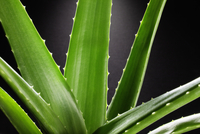 Close up of aloe plant