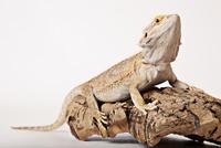 Lizard crawling on log 11086002020| 写真素材・ストックフォト・画像・イラスト素材|アマナイメージズ