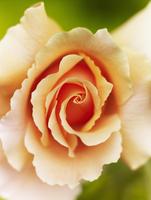 Close up of Felicia rose