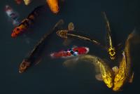 Carp fish swimming in pond 11086002316| 写真素材・ストックフォト・画像・イラスト素材|アマナイメージズ