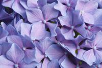 Close up of purple hydrangea flowers 11086002331| 写真素材・ストックフォト・画像・イラスト素材|アマナイメージズ