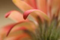 Close up of gerbera daisy petals