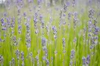 Close up of lavender growing in field