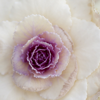 Extreme close up of white and purple cabbage plant 11086011375| 写真素材・ストックフォト・画像・イラスト素材|アマナイメージズ