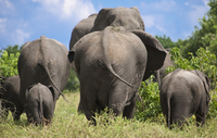 Rear view of elephants walking in national park