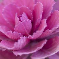 Close up of pink cabbage plant 11086011380| 写真素材・ストックフォト・画像・イラスト素材|アマナイメージズ