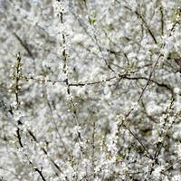White blackthorn blossom branches