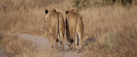 Lions walking on dirt path
