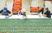 Workers processing tomatoes in food processing plant