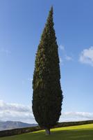 Cypress tree, Andaluc'a, Spain 11086014593| 写真素材・ストックフォト・画像・イラスト素材|アマナイメージズ