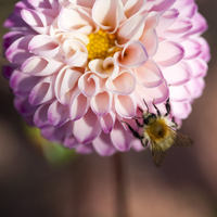 Close up of bee pollinating pink dahlia flower