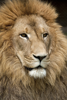 Close up of lion with golden mane