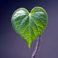 Extreme close up detail of green heart-shaped leaf against purple background
