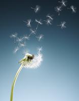 Dandelion seeds blowing on blue background 11086022597| 写真素材・ストックフォト・画像・イラスト素材|アマナイメージズ