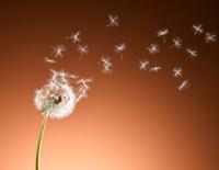 Dandelion seeds blowing against orange background 11086022600| 写真素材・ストックフォト・画像・イラスト素材|アマナイメージズ