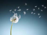 Dandelion seeds blowing on blue background 11086022602| 写真素材・ストックフォト・画像・イラスト素材|アマナイメージズ