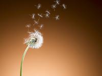 Dandelion seeds blowing against orange background 11086022605| 写真素材・ストックフォト・画像・イラスト素材|アマナイメージズ