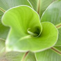 Close up twirling green leaf 11086026425| 写真素材・ストックフォト・画像・イラスト素材|アマナイメージズ