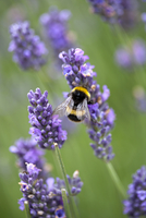 Bumblebee pollinating purple lavender flowers