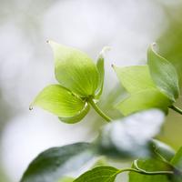 Close up of fresh green leaves on dogwood tree 11086026433| 写真素材・ストックフォト・画像・イラスト素材|アマナイメージズ