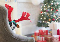 Portrait dog wearing reindeer antlers near Christmas tree