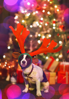 Portrait cute dog wearing reindeer antlers in front of Christmas tree