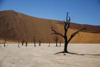 Burned trees in desert, Dead Vlei desert, Namibia 11086027637| 写真素材・ストックフォト・画像・イラスト素材|アマナイメージズ