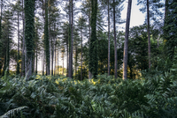 Lush ferns and ivy growing below trees in woods, New Forest, United Kingdom
