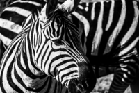 Close up of zebra, Serengeti, Tanzania