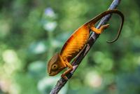Close up of chameleon on branch, Madagascar