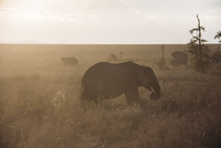 Elephant walking in desert grass, Serengeti, Tanzania