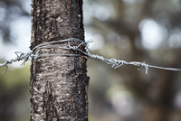 Barbed wire wrapped around tree trunk