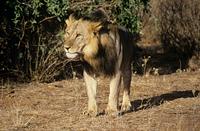 Lion 11087003624| 写真素材・ストックフォト・画像・イラスト素材|アマナイメージズ